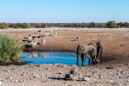 African Elephants, Zebras, and Antilopes gathering Near a waterhole in Etosha National Park, Namibia. Reklamní fotografie