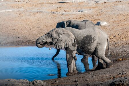 Two African Elephants -Loxodonta Africana- drinking from a waterhole. Etosha National Park, Namibia.