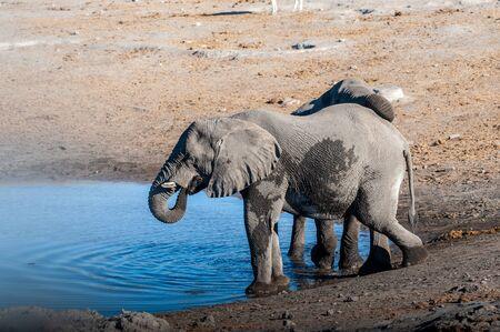 Due elefanti africani -Loxodonta africana- che bevono da una pozza d'acqua. Parco nazionale di Etosha, Namibia. Archivio Fotografico