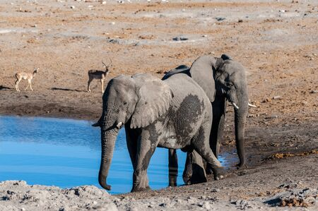 Two African Elephants -Loxodonta Africana- standing walking around a waterhole. Etosha National Park, Namibia. Reklamní fotografie