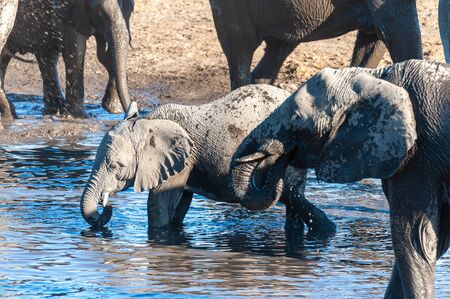 A herd of African Elephants -Loxodonta Africana- bathing in a waterhole in Etosha National Park, Namibia. Reklamní fotografie