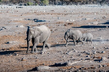 A large herd of African Elephants -Loxodonta Africana- walking decisively towards a waterhole. Etosha National Park, Namibia.
