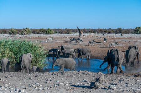 African Elephants, Giraffes and Zebras gathering around a waterhole in Etosha National Park, Namibia