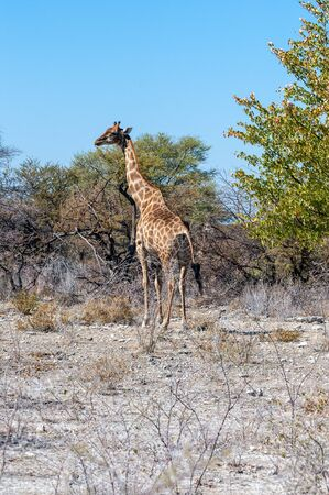 Angolan Giraffes - Giraffa giraffa angolensis- eating from the bushes on the plains of Etosha national Park in Namibia.