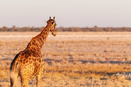 One Angolan Giraffe - Giraffa giraffa angolensis walking on the plains of Etosha national park, Namibia, during the magic hour of sunset.