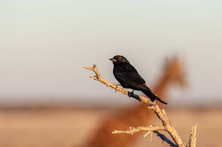 Closeup of a Fork-tailed Drongo - Dicrurus adsimilis- in the golden light of sunset, with the outline of a Giraffe crossing in the background. Etosha National Park, Namibia.