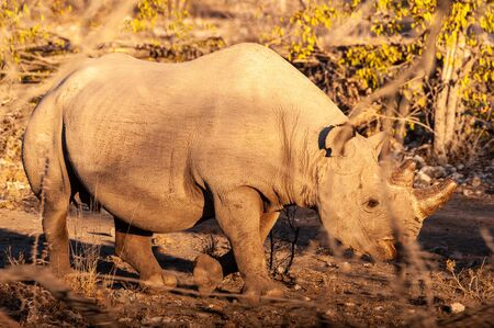A black Rhinoceros - Diceros bicornis- eating scrubs on the plains of Etosha national park, Namibia, during sunset