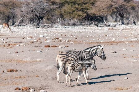 Two Burchells Plains zebra -Equus quagga burchelli- walking on the plains of Etosha National Park, Namibia.