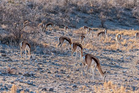 A group of Impalas - Aepyceros melampus- grazing on the plains of Etosha National Park, Namibia. Reklamní fotografie