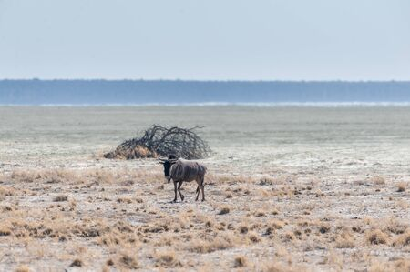 One blue wildebeest - Connochaetes taurinus- on the otherwise empty plains of Etosha. Etosha National Park, Namibia.