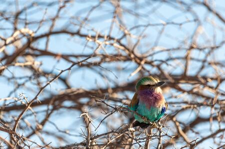 Closeup of a Lilac Breasted Roller - Coracias caudatus- sitting on a tree branch, in Etosha National Park.
