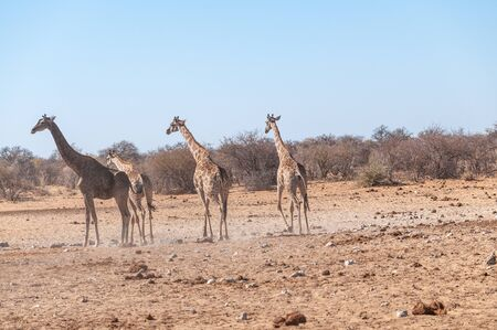 Four Angolan Giraffes - Giraffa giraffa angolensis walking nervously around a waterhole in Etosha national park, Namibia. Reklamní fotografie