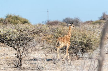 An Angolan Giraffe - Giraffa giraffa angolensis- galloping nervously on the plains of Etosha national Park in Namibia.