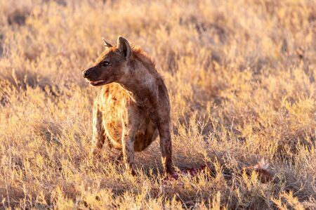 Close-up of a spotted Hyena - Crocuta crocuta- with a prey, seen during the golden hour of sunset in Etosha national Park, Namibia.