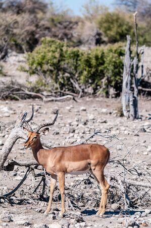 Closeup of an Impala - Aepyceros melampus- grazing on the plains of Etosha National Park, Namibia.