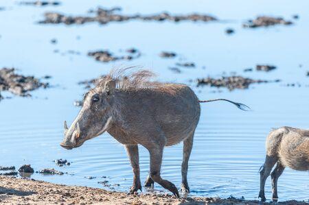 Closeup of a group of Common Warthogs - Phacochoerus africanus- near a waterhole of Etosha. Etosha National Park, Namibia.