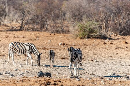 Telephoto shot of a group of Burchells Plains zebras -Equus quagga burchelli- standing on the plains of Etosha National Park, Namibia.