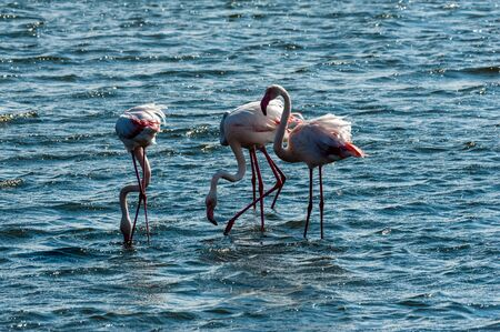 A group of flamengos -Phoenicopteridae- feeding in the ocean at Walvis Bay, Namibia.
