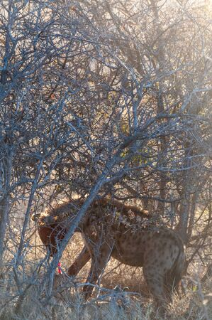 Close-up of a spotted Hyena - Crocuta crocuta- with a prey, seen during the golden hour of sunset in Etosha national Park, Namibia. Stock Photo - 139025285