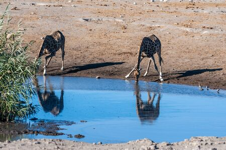 Two Angolan Giraffes - Giraffa giraffa angolensis- standing near a waterhole in Etosha National Park. Giraffes are the most vulnerable when drinking.