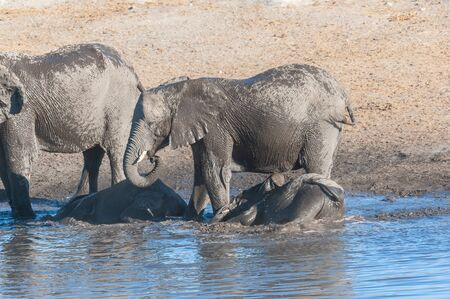 A group of African Elephants -Loxodonta Africana- drinking and taking a bath in a waterhole. Etosha National Park, Namibia.