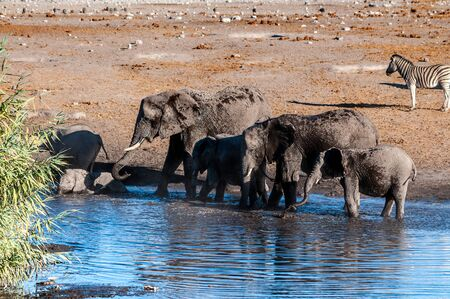 A herd of African Elephant -Loxodonta Africana- taking a bath in a waterhole in Etosha national Park. A group of Burchells Plains zebra -Equus quagga burchelli- is seen in the background.
