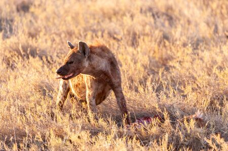 Close-up of a spotted Hyena - Crocuta crocuta- with a prey, seen during the golden hour of sunset in Etosha national Park, Namibia. Stock Photo - 139022725