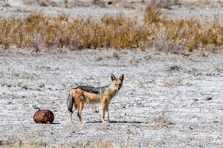A side-striped Jackal -Canis Adustus- hunting for prey in Etosha National Park, Namibia.