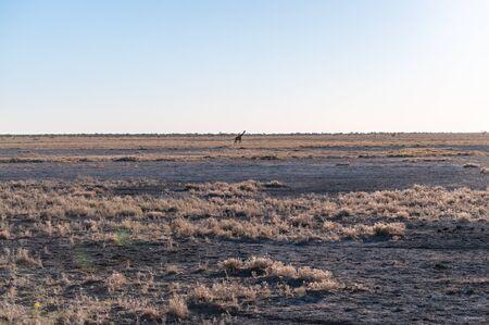 Wide angle shot of an Angolan Giraffe - Giraffa giraffa angolensis- illustrating the vast openness of the plains of Etosha National Park, Namibia.