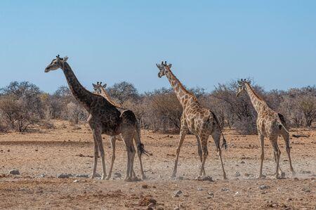 Tree Angolan Giraffes - Giraffa giraffa angolensis standing near a waterhole in Etosha national park, Namibia.
