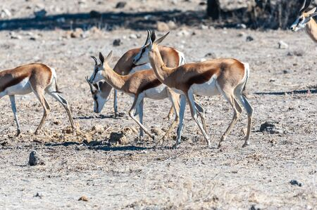 Closeup of a herd of Impalas - Aepyceros melampus- grazing on the plains of Etosha National Park, Namibia. Banque d'images - 141362507