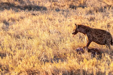Close-up of a spotted Hyena - Crocuta crocuta- with a prey, seen during the golden hour of sunset in Etosha national Park, Namibia. Stock Photo - 141362680