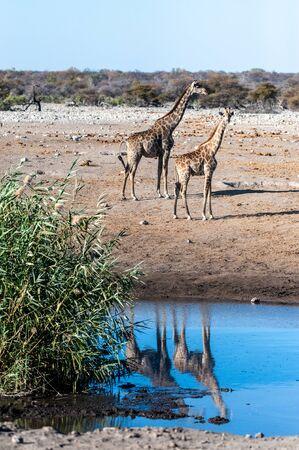 Angolan Giraffes - Giraffa giraffa angolensis standing near a waterhole in Etosha national park, Namibia.
