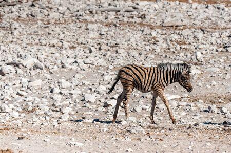 A group of Burchells Plains zebra -Equus quagga burchelli- standing close to each other on the plains of Etosha National Park, Namibia.