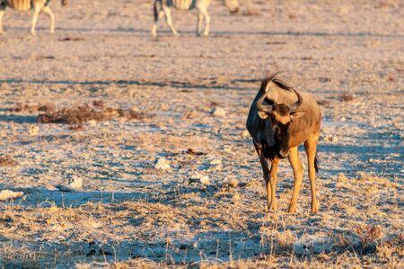 A blue wildebeest - Connochaetes taurinus- walking on the plains of Etosha around sunset. Etosha National Park, Namibia. Banco de Imagens