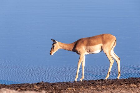 One Impala -Aepyceros melampus- walking in front of a waterhole in Etosha National Park, Namibia. Banque d'images - 141362831