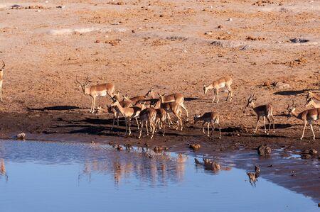 A group of Impalas -Aepyceros melampus- drinking from a waterhole in Etosha National Park, Namibia.