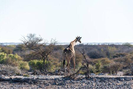 Angolan Giraffes - Giraffa giraffa angolensis- eating from the bushes on the plains of Etosha national Park in Namibia.