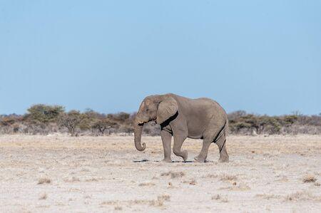 One big male African Elephant -Loxodonta Africana- walking down the plains of Etosha National Park.