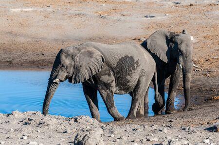 Two African Elephants -Loxodonta Africana- standing walking around a waterhole. Etosha National Park, Namibia. Stock Photo