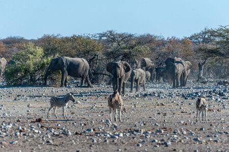 A large herd of African Elephants -Loxodonta Africana- walking decisively towards a waterhole. Etosha National Park, Namibia.