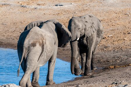 Two Male African Elephants -Loxodonta Africana- are challenging each other for a fight. Etosha National Park, Namibia.