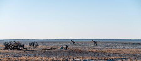 Wide angle shot of two Angolan Giraffes - Giraffa giraffa angolensis- illustrating the vast openness of the plains of Etosha National Park, Namibia.