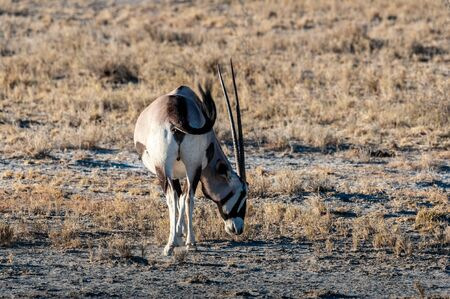 An Oryx - Oryx gazelle- grazing on the plains of Etosha national park, Namibia