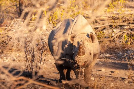 A black Rhinoceros - Diceros bicornis- eating scrubs on the plains of Etosha national park, Namibia, during sunset