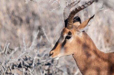 Detail of an Impala - Aepyceros melampus- emerging from the bushes of Etosha National Park, Namibia. Banco de Imagens