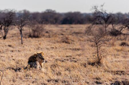 Impression of a Male Lion - Panthera leo- resting on the plains of Etosha national park, Namibia; catching the early morning sun. Stock Photo
