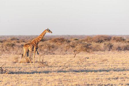 One Angolan Giraffe - Giraffa giraffa angolensis walking on the plains of Etosha national park, Namibia, during the magic hour of sunset.