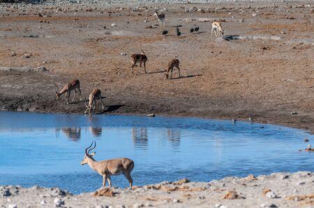 A group of Impalas - Aepyceros melampus- drinking from a waterhole in Etosha National Park, Namibia. Banco de Imagens