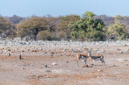 A group of Impalas - Aepyceros melampus- grazing on the plains of Etosha National Park, Namibia. Banco de Imagens